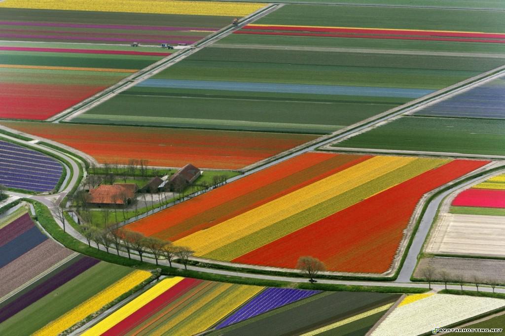 aerial view of tulip flower fields amsterdam the netherlands aerialviewoftulipflowerfieldsamsterdamthenetherlands