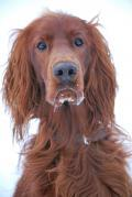 Animals/Insects Irish Setter