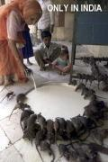 Animals/Insects only in india rat rats feed milk